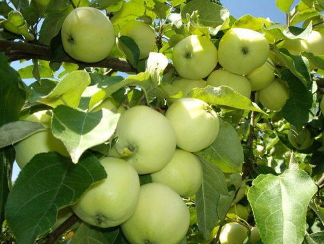 Бело-желтые яблоки сорта Белый налив на ветке взрослого дерева
