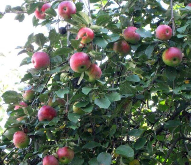 Спелые плоды на летней яблони в частном хозяйстве Поволжского региона