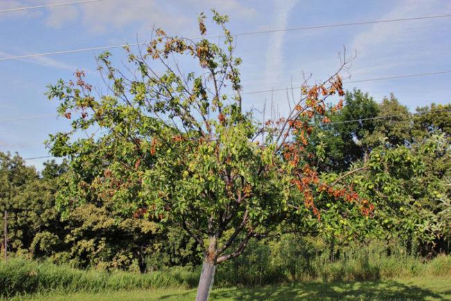 Верхние ветки молодой яблони начинают сохнуть после весны