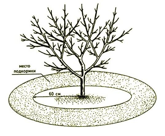 Схема внесения минеральных и органических подкормок под яблоню