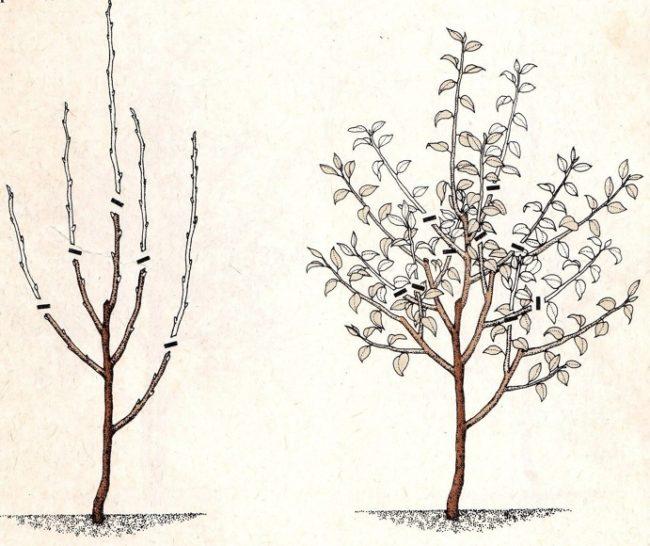 Схема формирование кроны яблони на второй-третий год после посадки