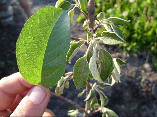 Измельчение и увядание молодых листьев на двухлетней яблоне