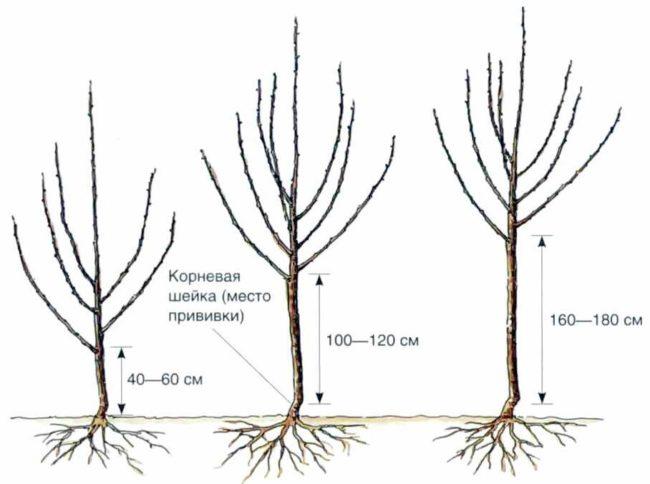 Высота штамбов яблонь различного типа в зависимости от подвоя