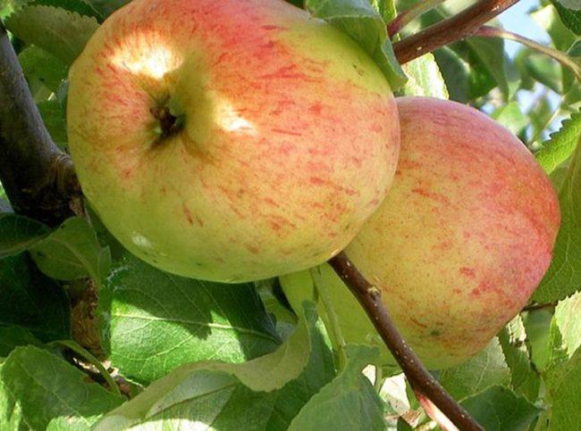 Розово-желтые плоды на яблоне сорта Балтика, растущего в Вологодской области