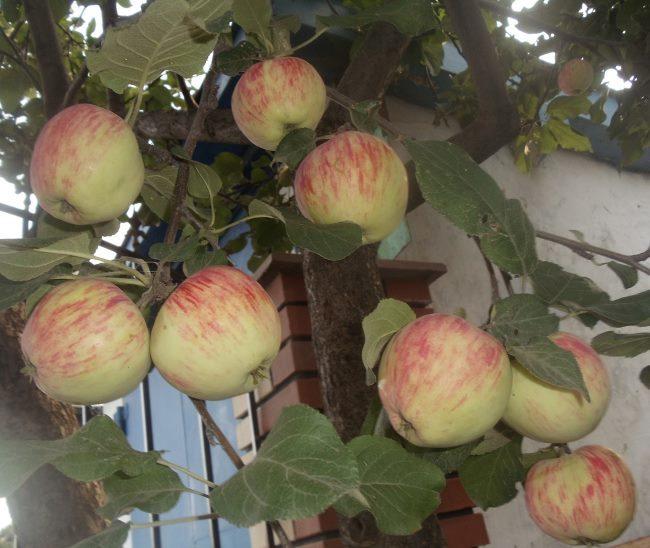 Ветки яблони сорта Башкирский красавец с плодами в красную полоску