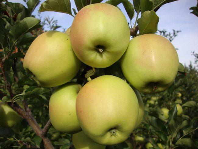 Желто-зеленые плоды с небольшим румянцем розового оттенка на ветке яблони сорта Бель чернышевская