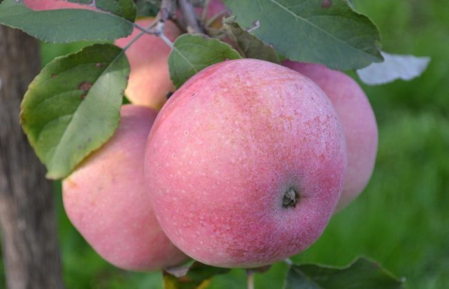 Пурпурно-розовые яблоки среднего размера сорта Бельфлер Башкирский