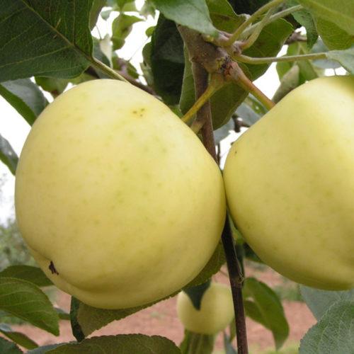 Яблоки сорта Белый Налив в стадии полной спелости