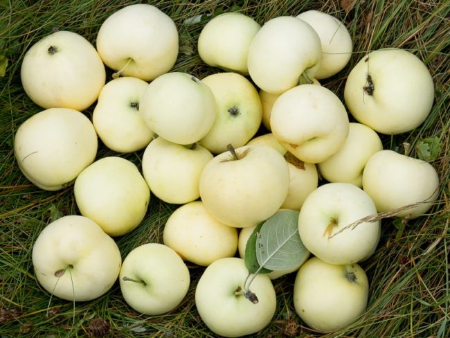 Спелые сочные плоды яблони сорта Белый налив с тонкой кожурой