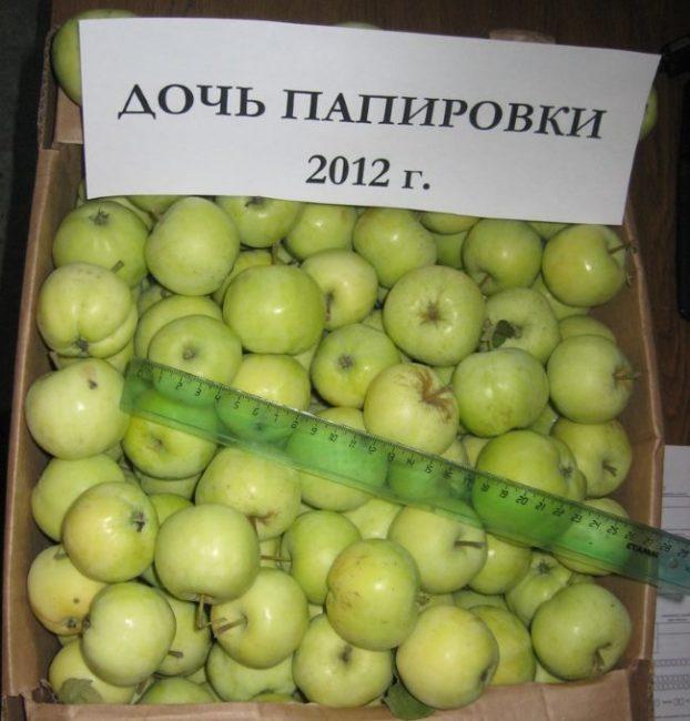 Картонный ящик с яблоками сорта Дочь Папировки и пластмассовая линейка
