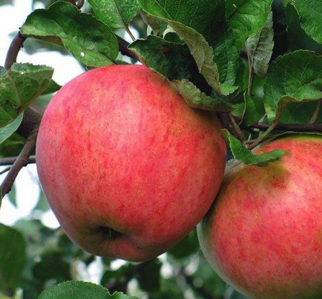 Красная размытая окраска плодов яблони сорта Дружба народов