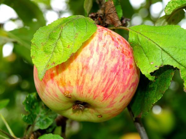 Яблоко среднего размера сорта Грушовка с полосатым румянцем розового цвета