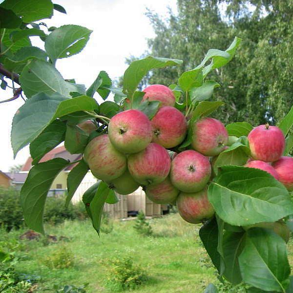 Ветка яблони сорта Грушовка московская с плодами розово-зеленого окраса