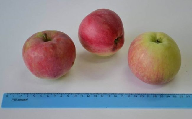 Внешний вид и размеры плодов яблони сорта Июльское Черненко мичуринской селекции