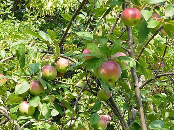 Ветки яблони сорта Московское зимнее с плодами в стадии технической спелости