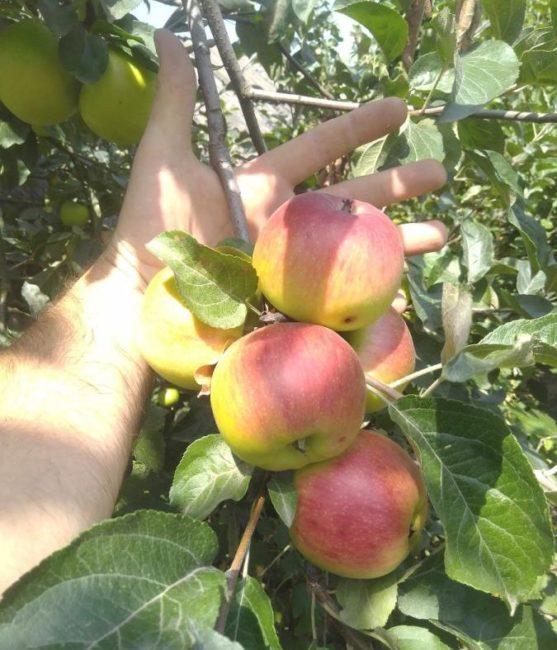 Плодоношение яблони гибридного сорта Мельба на однолетнем побеге