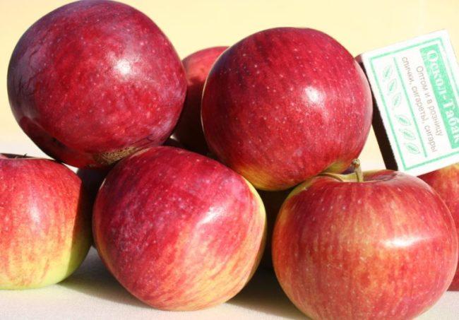 Спелые яблоки красно-малинового окраса сорта Орловское полосатое