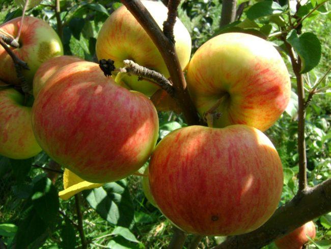 Полосатые плоды яблони сорта Осенняя радость в стадии съемной спелости