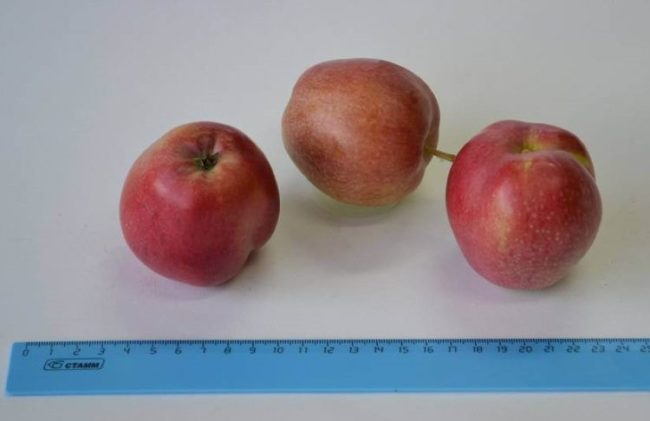 Внешний вид и размеры плодов яблони сорта Пепин шафранный