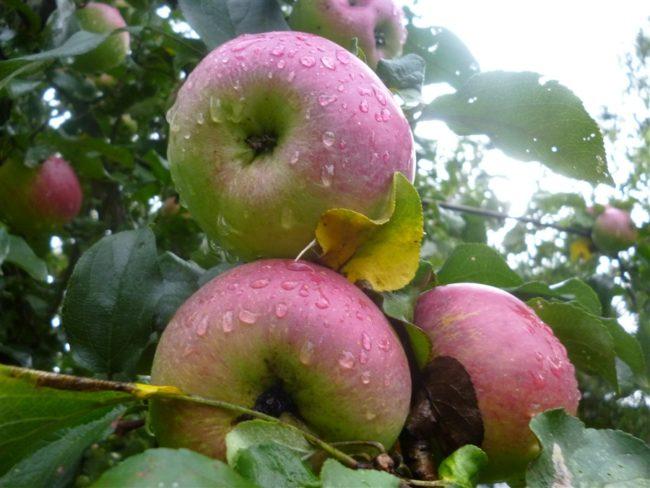 Фото розово-зеленых яблок с капельками дождя на кожице