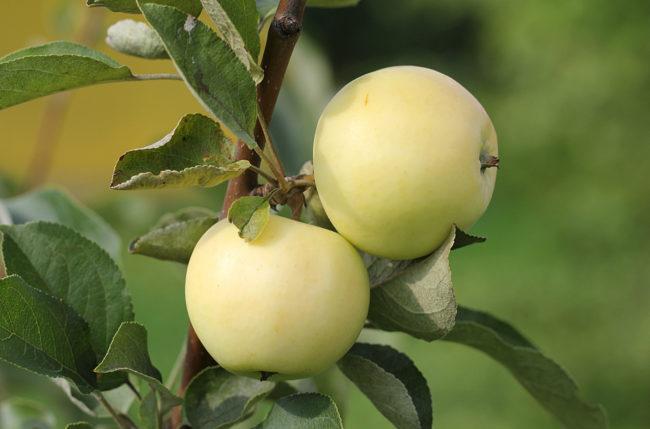 Два яблока сорта Белый налив на ветке плодового дерева в поволжском саду