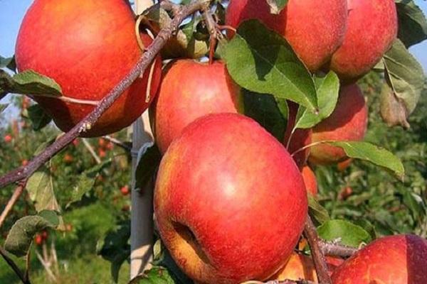 Крупные полосчатой окраски гибридного сорта яблони Самарский рубин