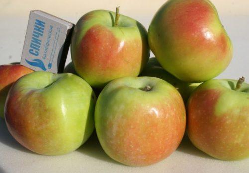 Горка спелых яблок сорта Синап Северный с розово-зеленой окраской