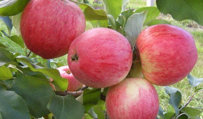 Спелые полосатые яблоки сорта Анис сладкий на дереве семилетнего возраста