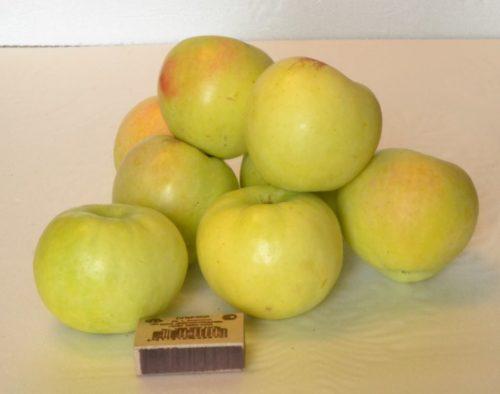 Размеры и внешний вид плодов яблони сорта Кальвин Снежный