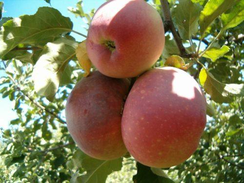 Три спелых плода на ветке яблони Апорт позднего срока созревания