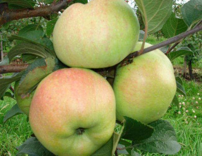Созревшие плоды крупного размера на ветке яблони сорта Богатырь
