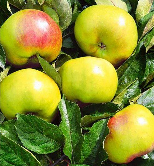 Жёлто-зеленые яблоки сорта Братчуд с небольшим розовым румянцем