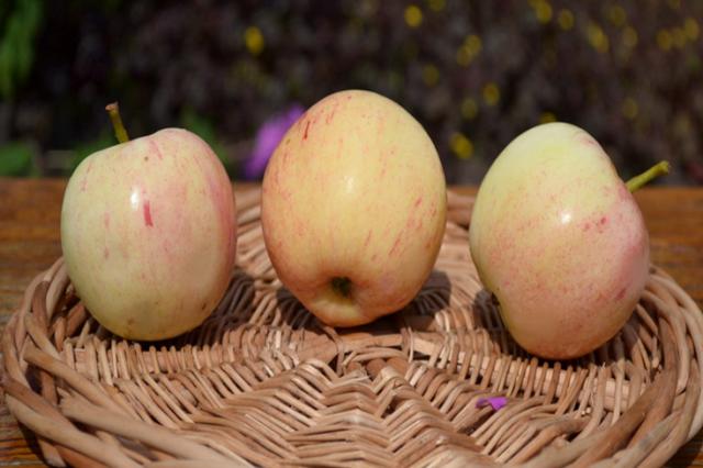 Три яблока желтоватого цвета сорта Буляк от башкирских селекционеров