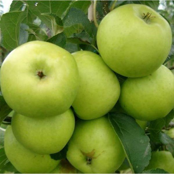 Зеленоватые яблоки на ветке шестилетнего дерева сорта Душистое