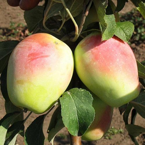 Два продолговатых яблока среднего размера гибридного сорта Кадриль