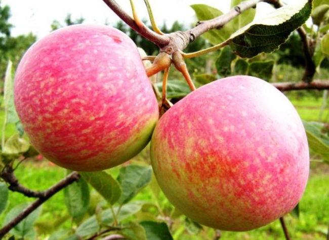 Парочка красно-зеленых яблок на ветке молодой яблони сорта Конфетное
