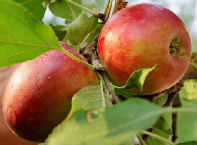 Первые плоды на молодой яблони сорта Коваленковское от белорусских селекционеров