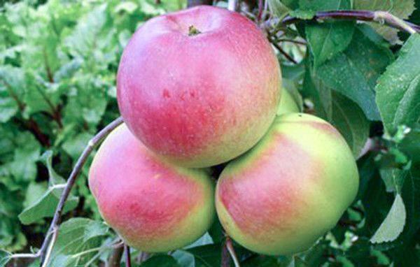 Розово-зеленые плоды на ветке карликовой яблони сорта Ковровое