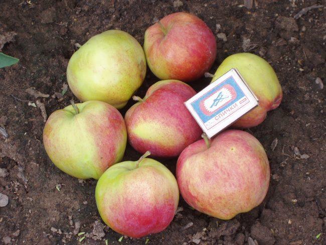 Сравнение размеров яблок сорта Мантет с габаритами спичечного коробка