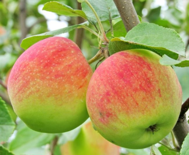 Два больших спелых яблока сорта Мельба с красно-розовым румянцем