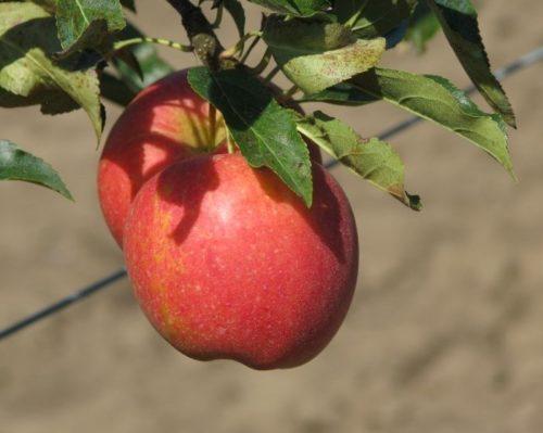 Ветка яблони с плодами сорта Прикубанское в стадии съемной спелости