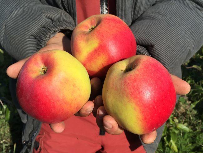 Крупные яблоки сорта Соколовское в руках садовода из Башкирии