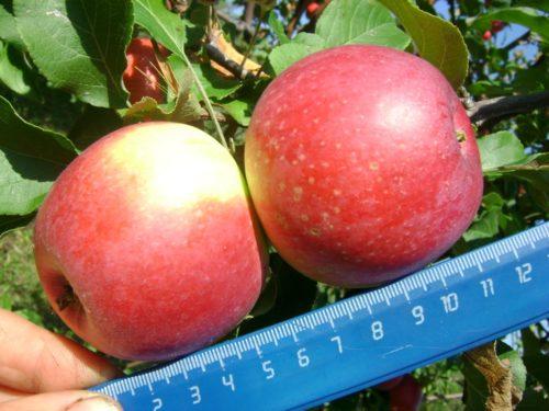 Внешний вид и размеры яблок сорта Студенческое с высокой стойкостью к парше