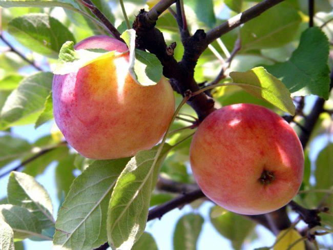 Два яблока желто-красной расцветке на взрослой яблоне сорта Теньковская
