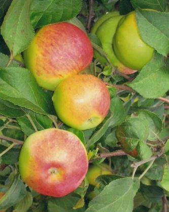 Желто-бурые плоды на яблоне сорта Трудовое Уральской селекции
