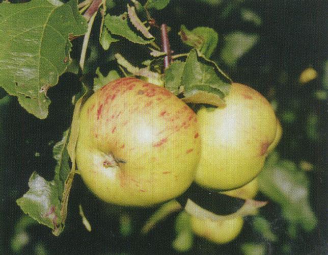 Бледно-зеленые яблоки с продольными малиновыми штрихами народного сорта Винное
