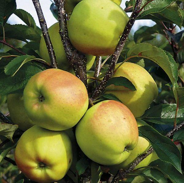 Ветка яблони сорта Жемчужное с плодами золотисто-желтого покровного окраса