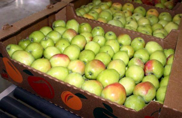 Картонные ящики с плодами яблони сорта Синап Орловский для длительного хранения