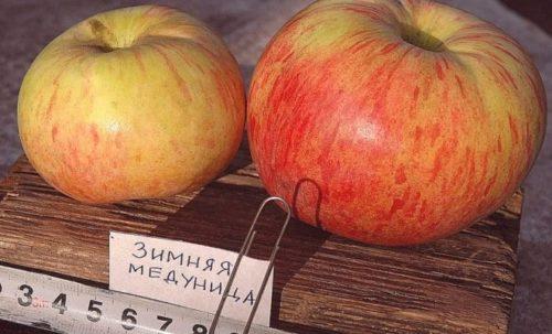 Размер яблок популярного в народе сорта Медуница зимняя