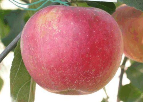 Крупный плод яблони сорта Аврора крымская